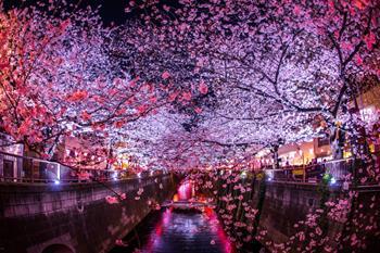 Cherry Blossom Festivali