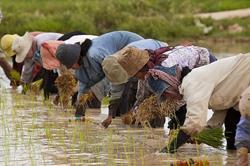 Pirinç Sezon Başlangıcı Seremonisi